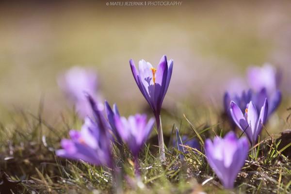Spomladanski žafrani, Spring saffrons.