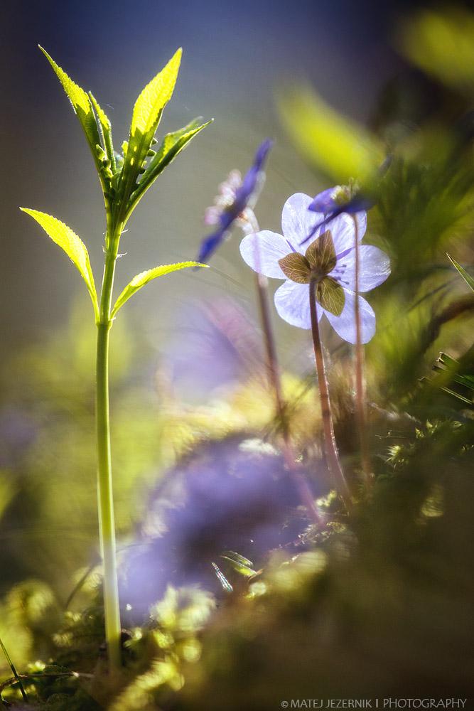 Spomladansko cvetje. Spring flowers