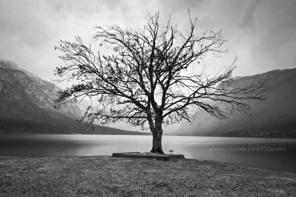 Famous Bohinj Lake tree in black and white