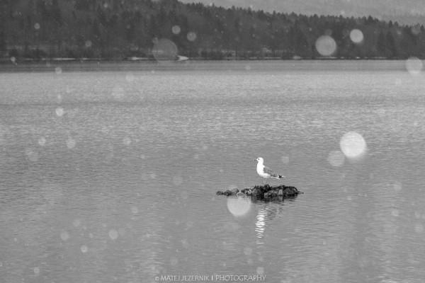 Gull at Lake Bohinj