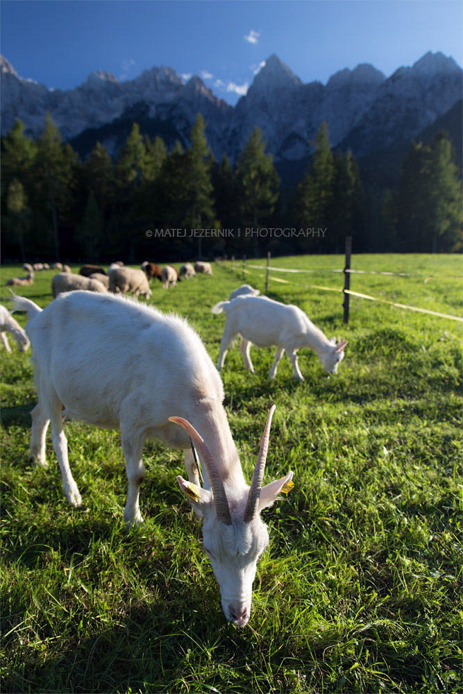 Goat and kid eat some grass on the sunny meadow. Back in the distance the Špik peak nicely stands out with its shape.