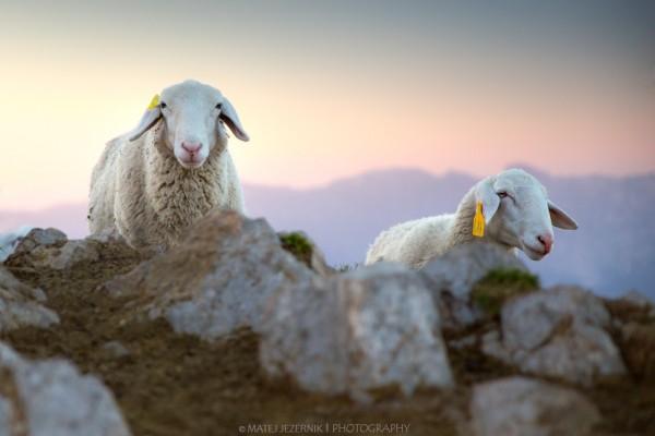Gorske_ovce_5_m