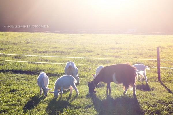 Some goats grazing grass. Direct sunlight emphasizes their shape.