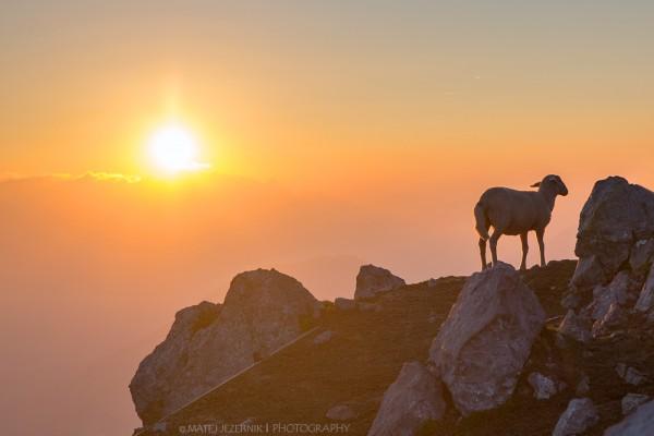 Gorske_ovce_4_m