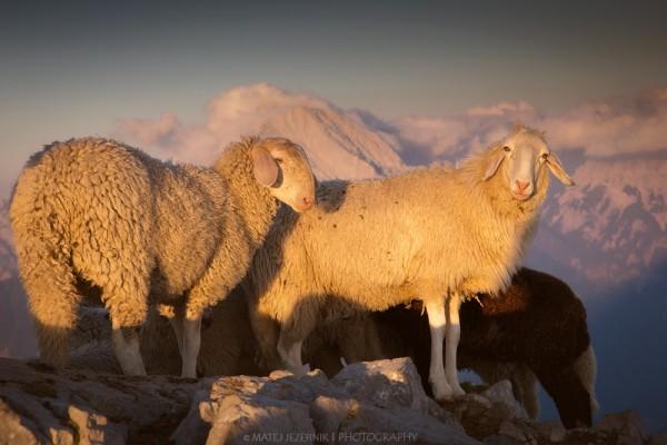 Gorske_ovce__1m