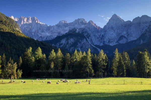 A herd of Sheep on the sunny meadow in front of Martujška skupina which belongs to Julian Alps.