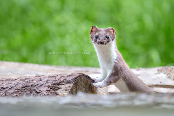 Short-tailed weasel having a break and staring at me after playing arround nearby.