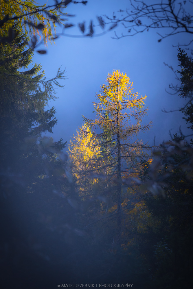 Golden larch standing out on the foggy backgorund.