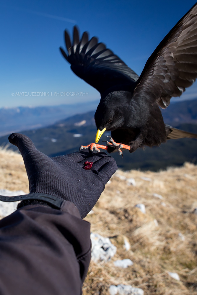 Feeding Alpine Chough from the palm.