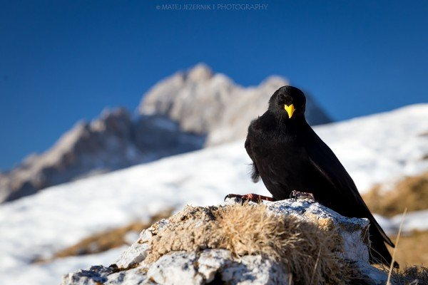 Alpine chough posing in front of Mount Triglav.