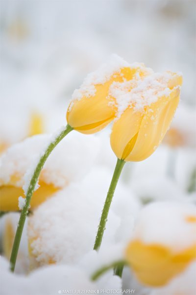 Tulips are touching each other as the really late April snow joined them.