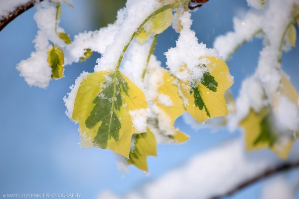 Spring_leaves_in_snow