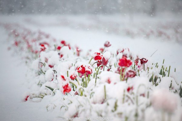 Red tulips flourish in the middle of the dense late april snowfall.